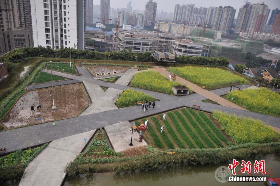 """重庆高楼顶现""""开心农场"""""""