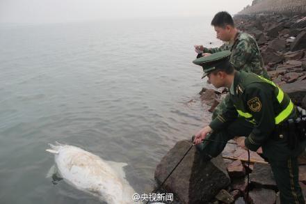 福建发现死亡中华白海豚 腹部背部均有伤口(图)