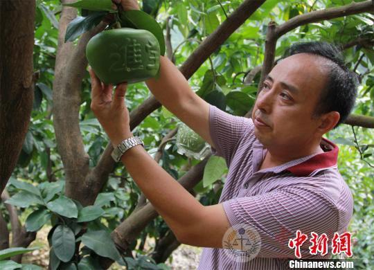 """台湾技术让蜜柚""""变形""""助农民增收"""